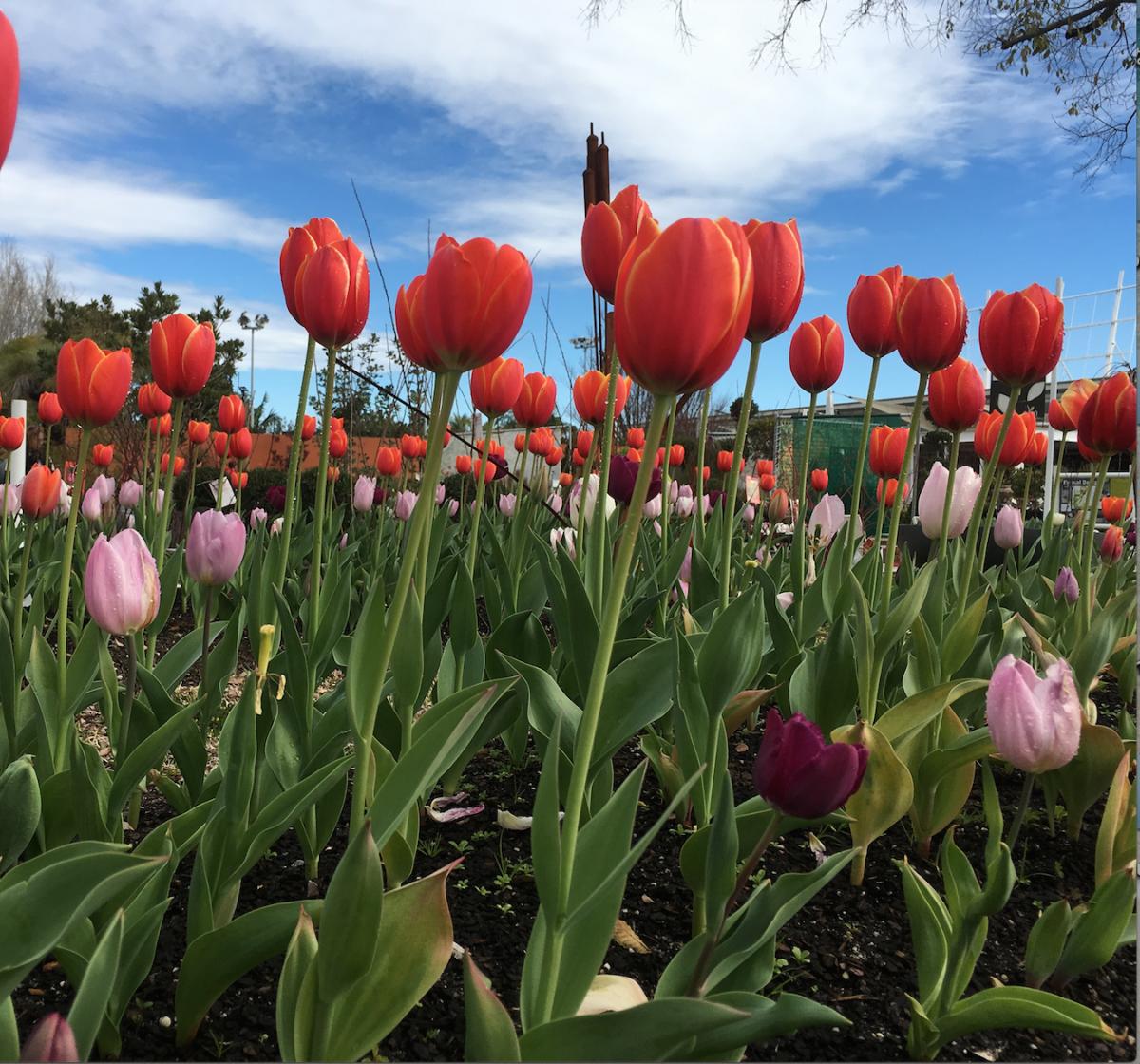yukari-tulip